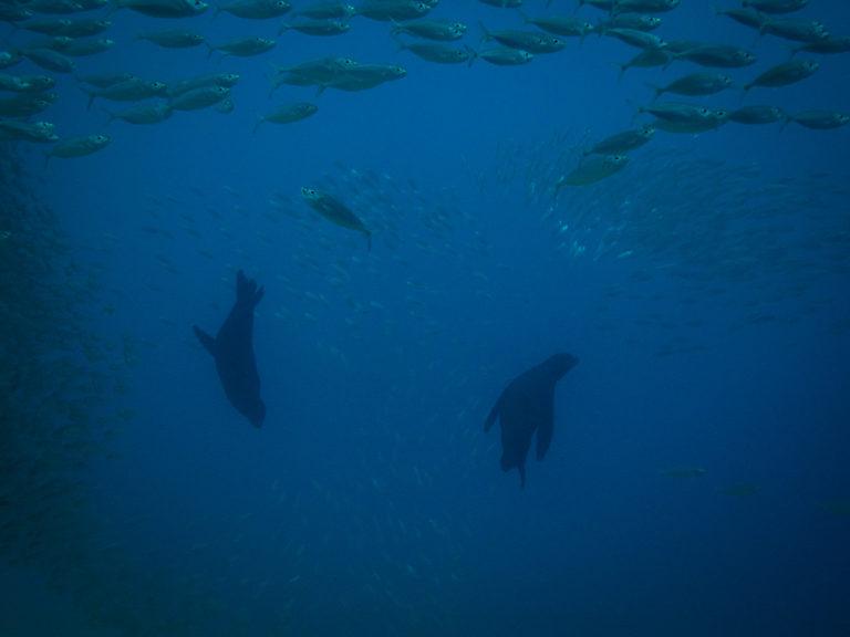 Sea lions cabo