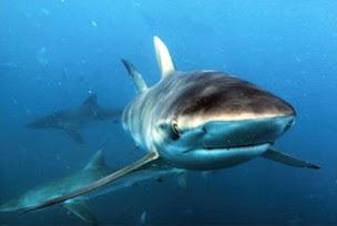Shark_gordobanks