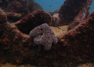 octopuss in cabo pulmo