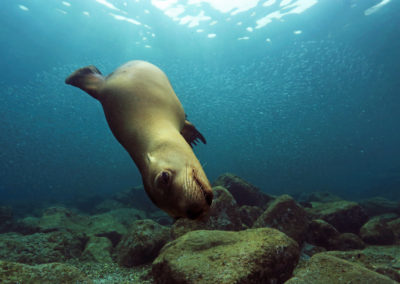 sea lion cabo san lucas