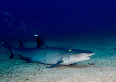white tip shark cabo