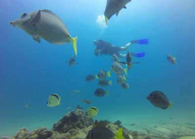 yellowtail surgeonfish in cabo