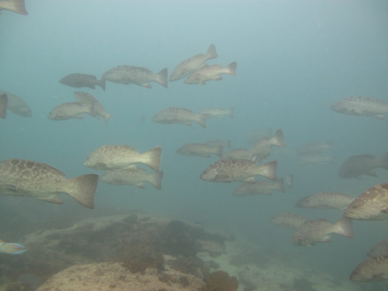 Groupers in Cabo Pulmo