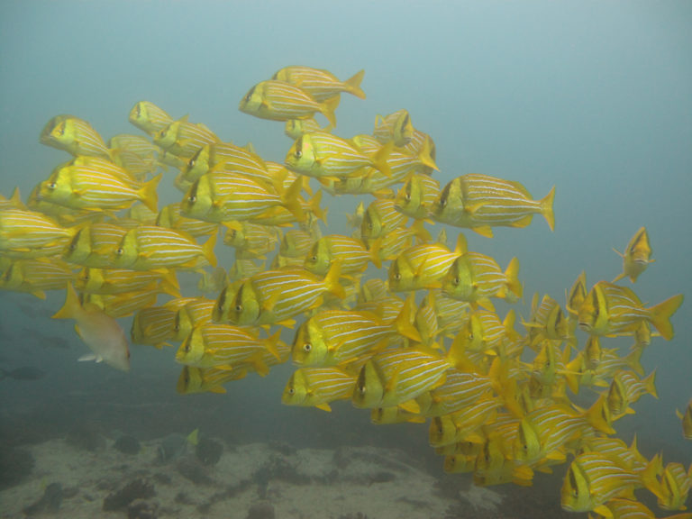Porkfish in Los Cabos