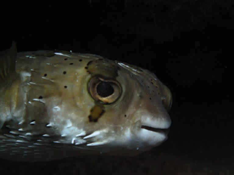 pufferfish Cabo Pulmo