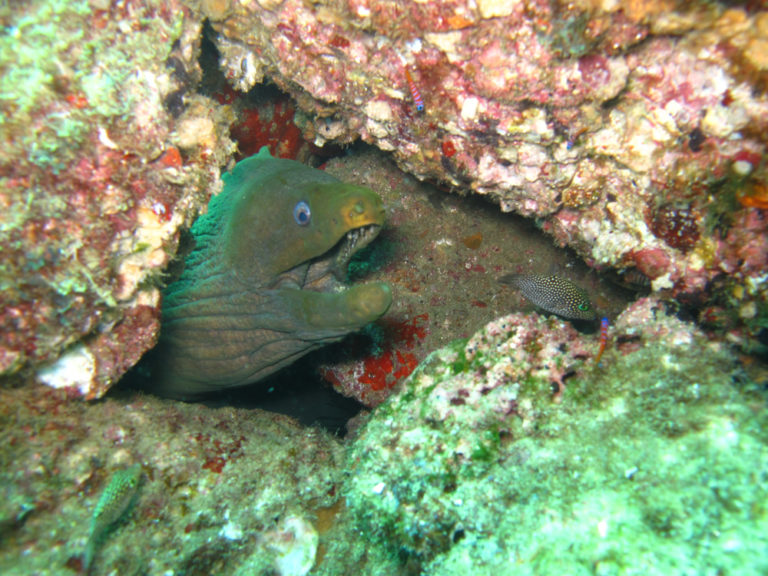 green morray eel diving in cabo